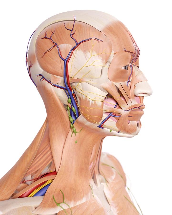 Khu vực đầu có chứa rất nhiều dây thần kinh quan trọng
